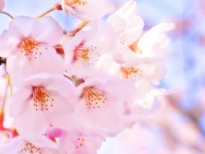 北越谷の桜の見頃と駐車場情報、花見の屋台の出店時間など