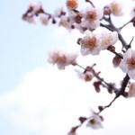 <span>越谷梅林公園梅祭り</span>2017の開花状況は?駐車場は?バーベキューは出来る?