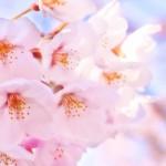 <span>北越谷の桜</span>の見頃と駐車場情報、花見の屋台の出店時間など